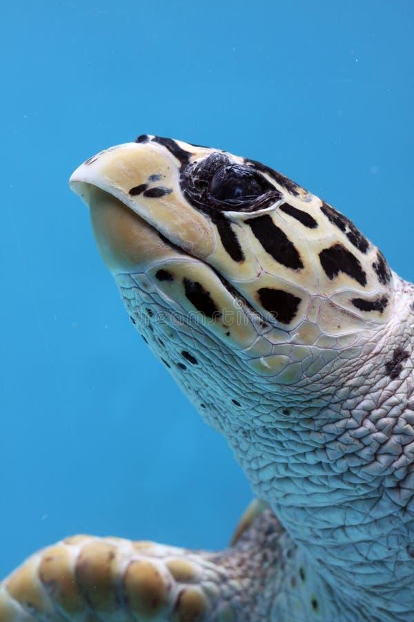 关闭被察觉的乌龟水中  免版税库存图片