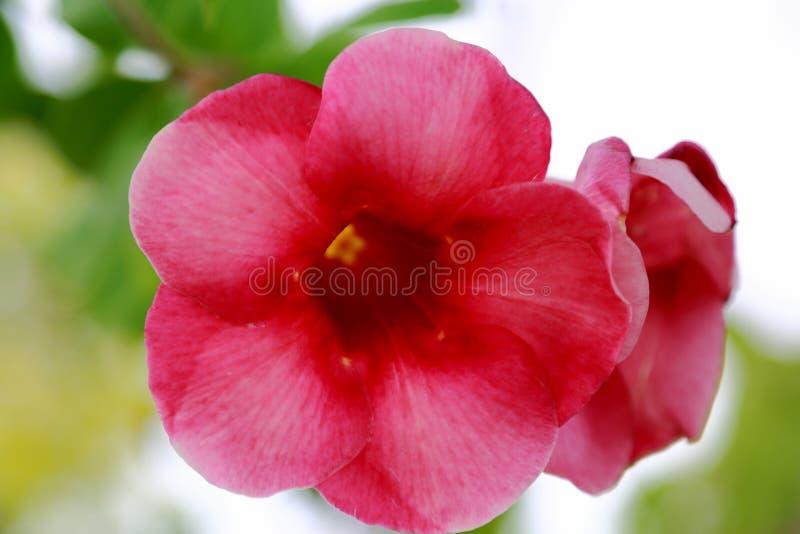 关闭被隔绝的华美的桃红色花看法  美好的自然背景 图库摄影