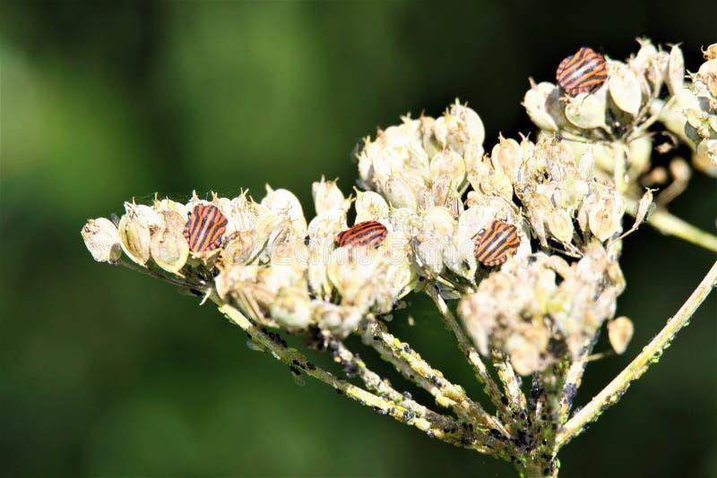 关闭被隔绝的红色,并且黑镶边吟游诗人盾烦扰在一束退色的白花的Graphosoma lineatum在秋天 库存图片