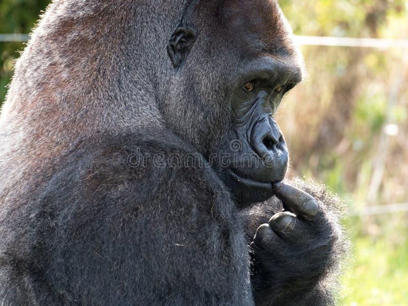 关闭西部低地成年男性大猩猩大猩猩 拍摄在口岸Lympne徒步旅行队公园在阿什富德肯特英国附近 库存图片