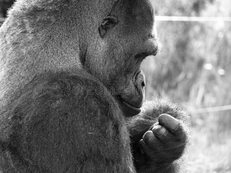 关闭西部低地成年男性大猩猩大猩猩 拍摄在口岸Lympne徒步旅行队公园在阿什富德肯特英国附近 免版税库存图片