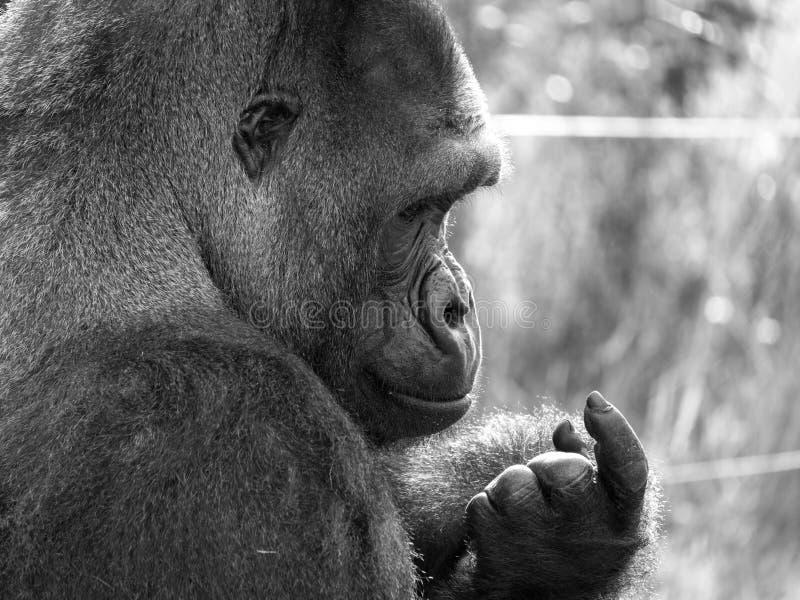 关闭西部低地成年男性大猩猩大猩猩 拍摄在口岸Lympne徒步旅行队公园在阿什富德肯特英国附近 库存照片