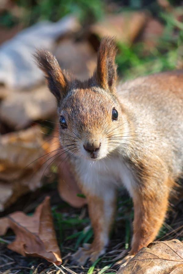 关闭观点的欧洲红松鼠 免版税库存图片