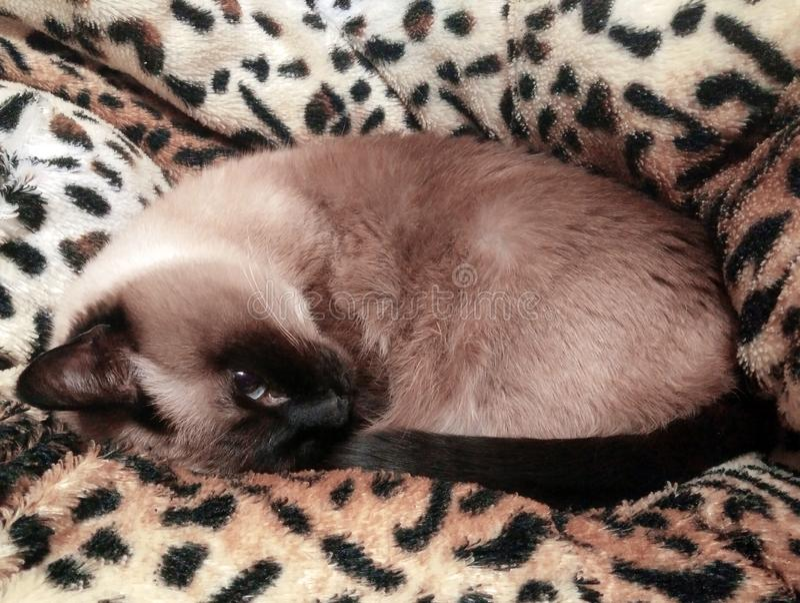 关闭说谎在蓬松豹子被仿造的格子花呢披肩的一只逗人喜爱的蓝眼睛的暹罗猫 选择聚焦 库存照片