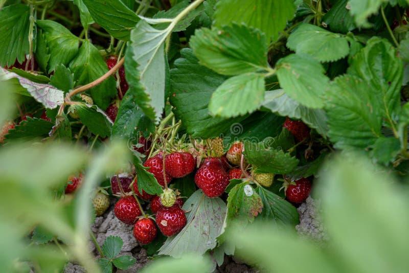 关闭负担草莓的6月生长在农夫的领域,夏天善良 图库摄影