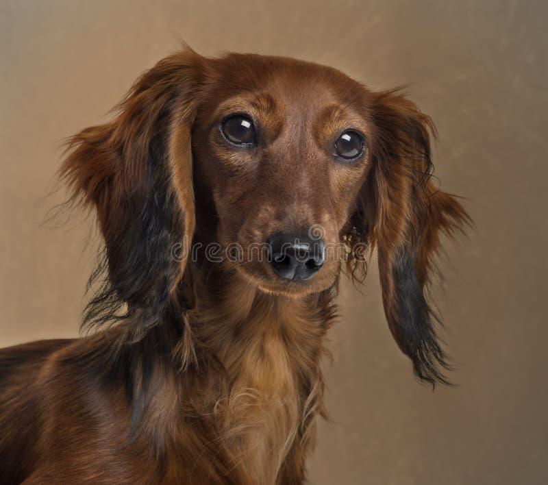 关闭达克斯猎犬 免版税图库摄影