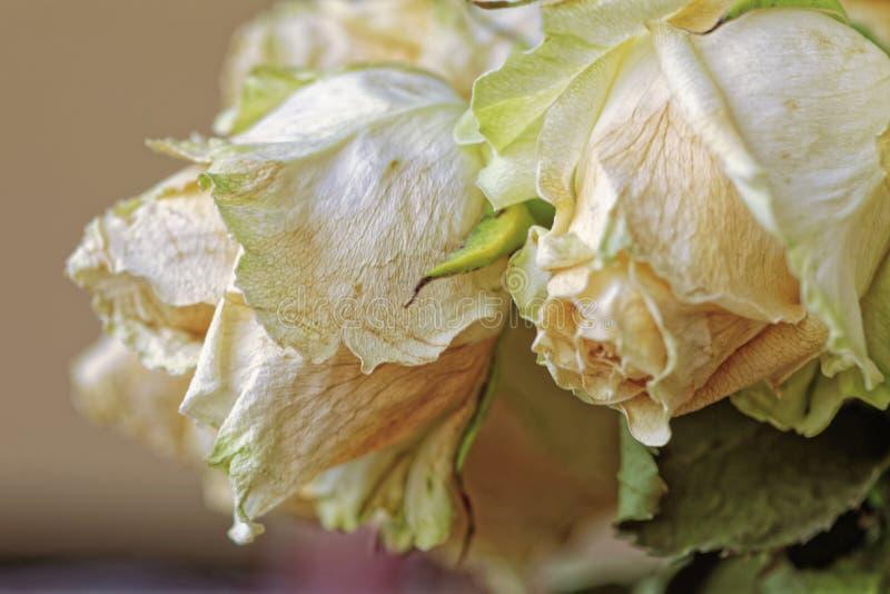 关闭退色的干燥白色玫瑰 凋枯的花 全景 免版税库存照片