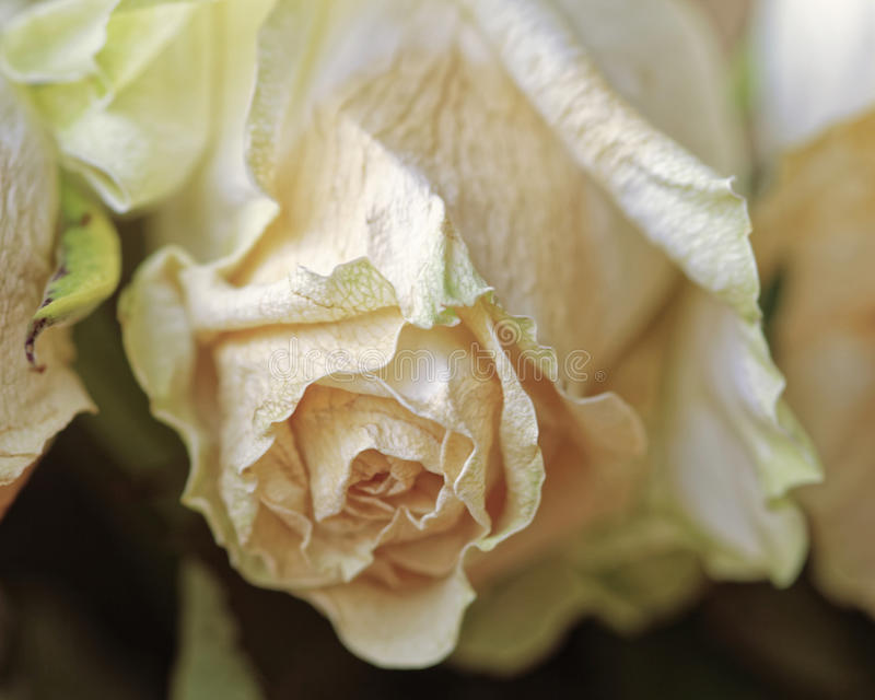 关闭退色的干燥白色玫瑰 凋枯的花 全景 库存图片