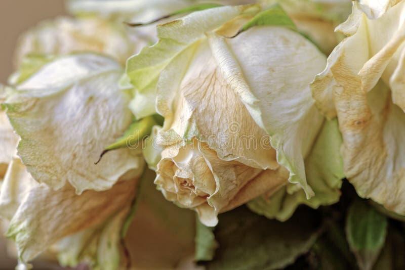关闭退色的干燥白色玫瑰 凋枯的花 全景 免版税库存图片