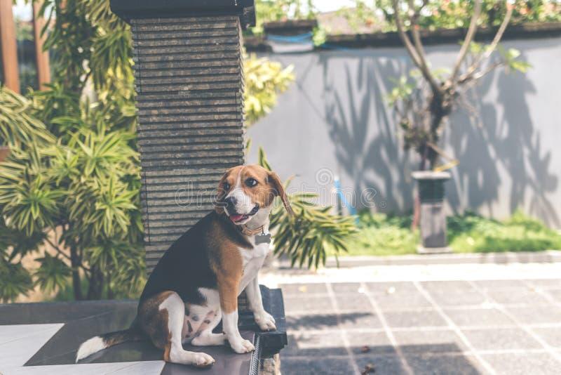 关闭逗人喜爱的母小猎犬狗画象户外在巴厘语庭院里 免版税库存照片
