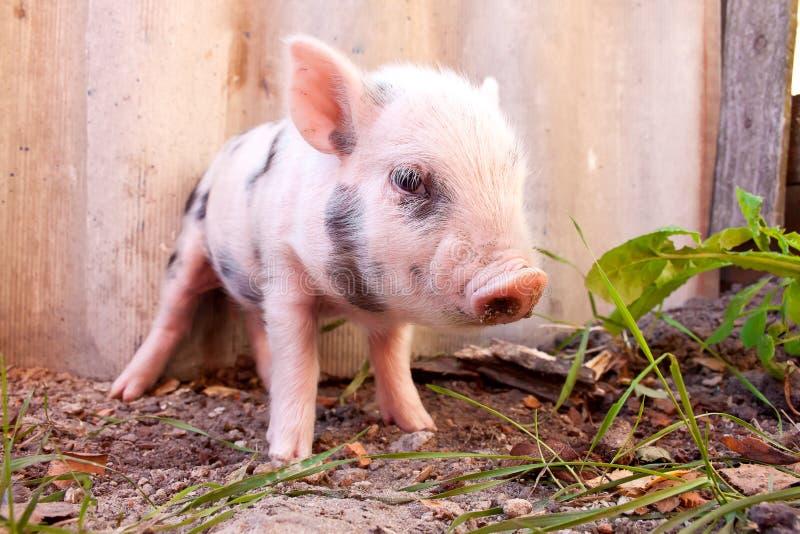 关闭逗人喜爱的泥泞的小猪  免版税库存图片