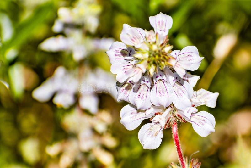 关闭酊植物柯林西属草tinctoria野花开花在优胜美地国家公园的,内华达山山, 库存照片