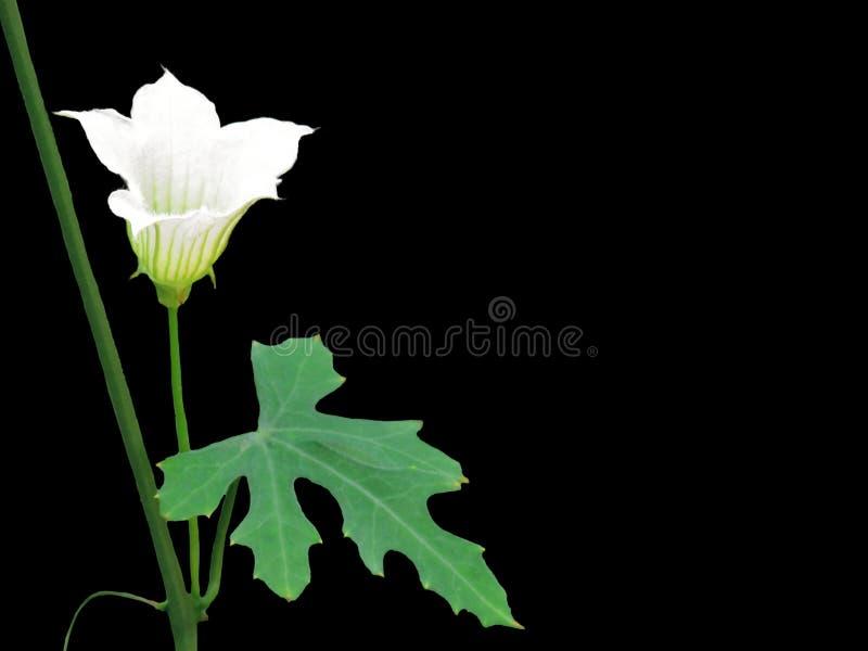 关闭金瓜菜或常春藤金瓜coccinia grandis的白花与在黑背景隔绝的绿色叶子 免版税图库摄影