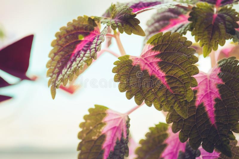 关闭锦紫苏植物的红色和绿色叶子 免版税库存照片