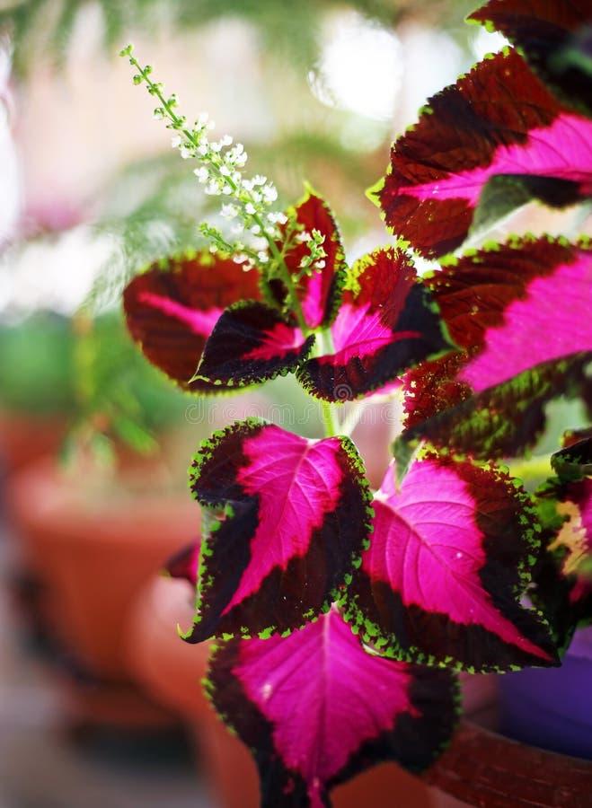 关闭锦紫苏花-被绘的荨麻或火焰荨麻花- Plectranthus Scutellarioides 库存图片