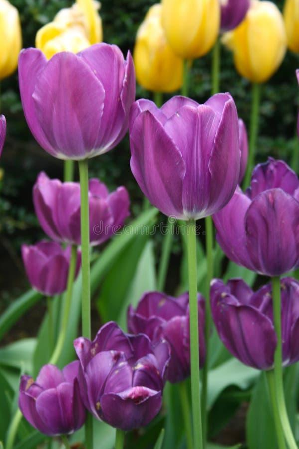关闭长的与黄色郁金香的词根紫色郁金香在背景中 库存图片