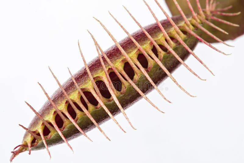 关闭闭合的金星飞行陷井& x28; Dionaea muscipula& x29;在whi 免版税库存图片