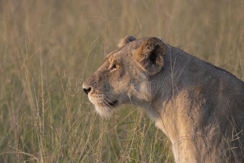 关闭雌狮头,她朝与发光在她的毛皮的晚上太阳的左边看 免版税库存图片