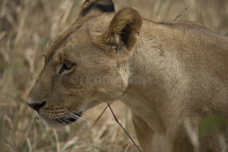 关闭雌狮头 面对左边的雌狮 库存照片