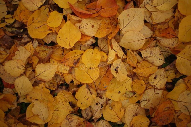 关闭雏菊和下落的杏子叶子在秋天 库存图片