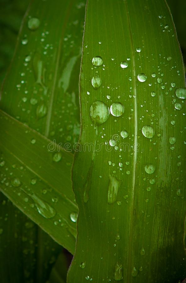 关闭露水在一片甜玉米叶子的水滴 库存照片