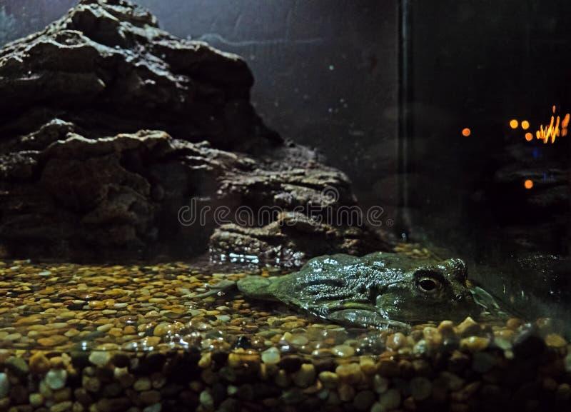 关闭非洲牛蛙或Pyxicephalus adspersus躺下  免版税库存图片