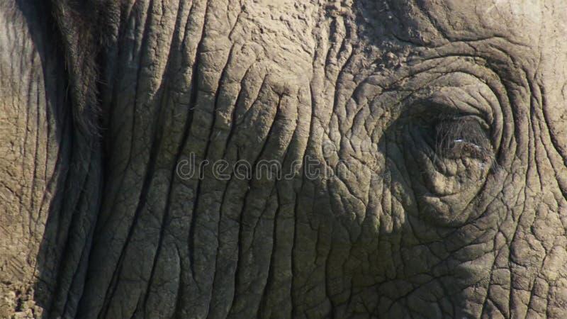 关闭非洲雄象,大草原,非洲 图库摄影