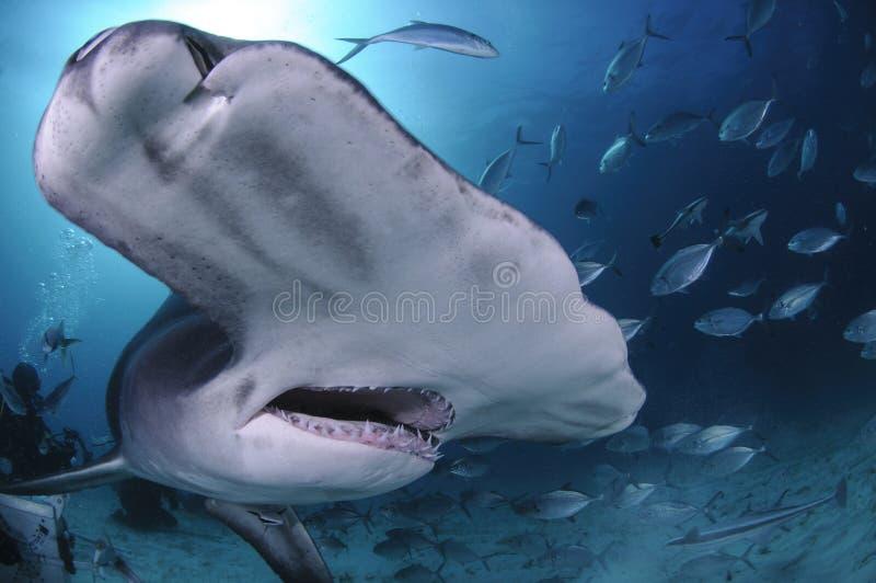 关闭面孔被射击伟大的双髻鲨游泳在巴哈马的清楚的水域中 免版税库存照片