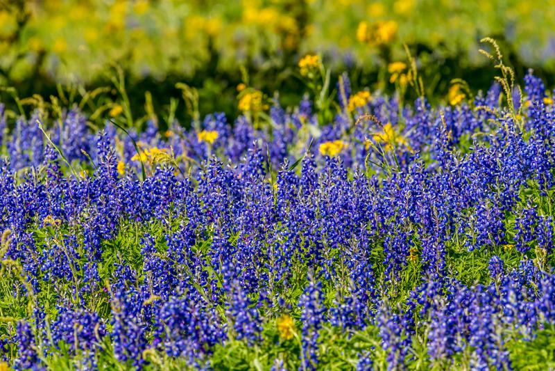 关闭领域的看法覆盖与著名得克萨斯矢车菊和其他被分类的野花 库存图片