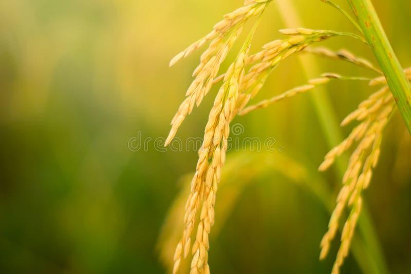 关闭领域的黄色水稻植物 免版税库存图片