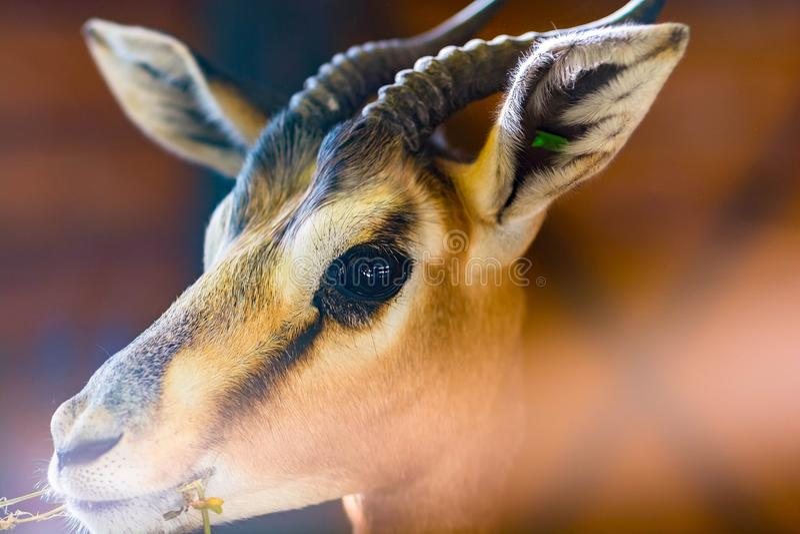 关闭飞羚或羚羊画象在低灯 免版税库存照片