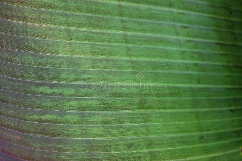 关闭香蕉棕榈叶的播种的图象与可看见的纹理结构的 绿色自然概念背景 库存照片
