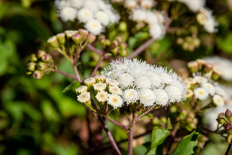 关闭香青属javanica或叫作在高处山可能只居住的Java Edelweiss花 也Edelweiss 图库摄影