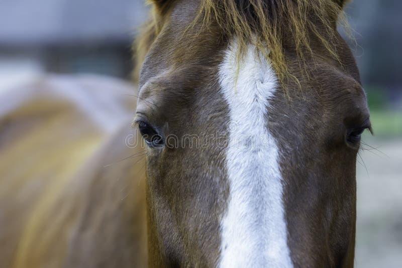 关闭马头和眼睛 库存照片