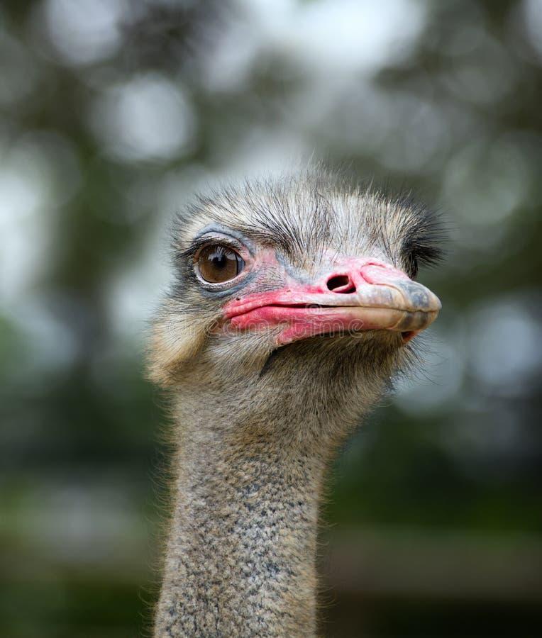 关闭驼鸟画象在大连森林动物园里 免版税库存照片