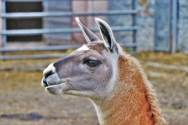 关闭骆马枪口,在他的natral环境里 位于乡下农场 库存图片