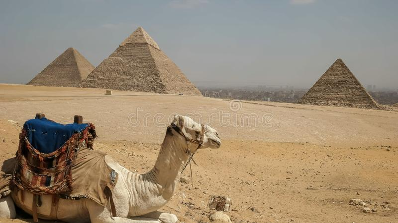 关闭骆驼和金字塔在吉萨棉在开罗,埃及 免版税库存图片