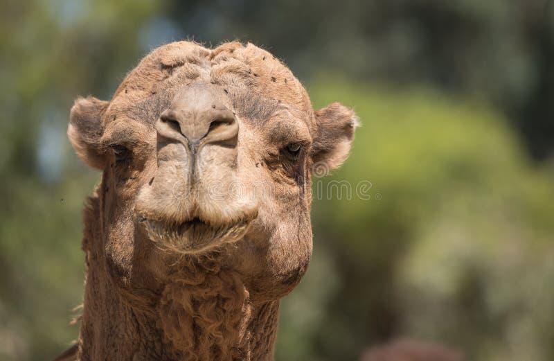 关闭骆驼的顶头画象 免版税库存图片