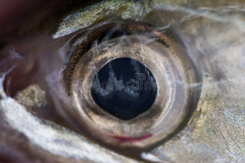 关闭鲭鱼眼睛 免版税库存照片