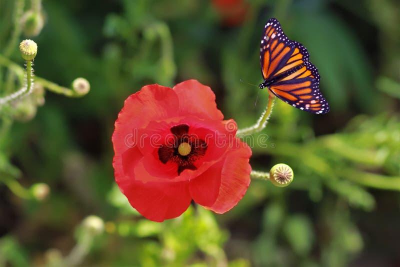 关闭鸦片花和蝴蝶 库存图片