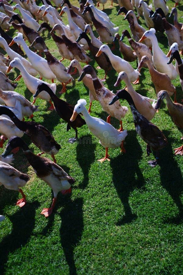 关闭鸭子行军在南非 免版税库存图片