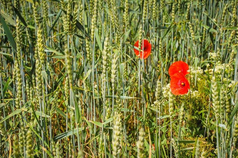 关闭麦子小麦属植物,禾本科,稻科植物类,为种子耕种的普通小麦绿色类,谷粒,三红色玉米popp 库存图片