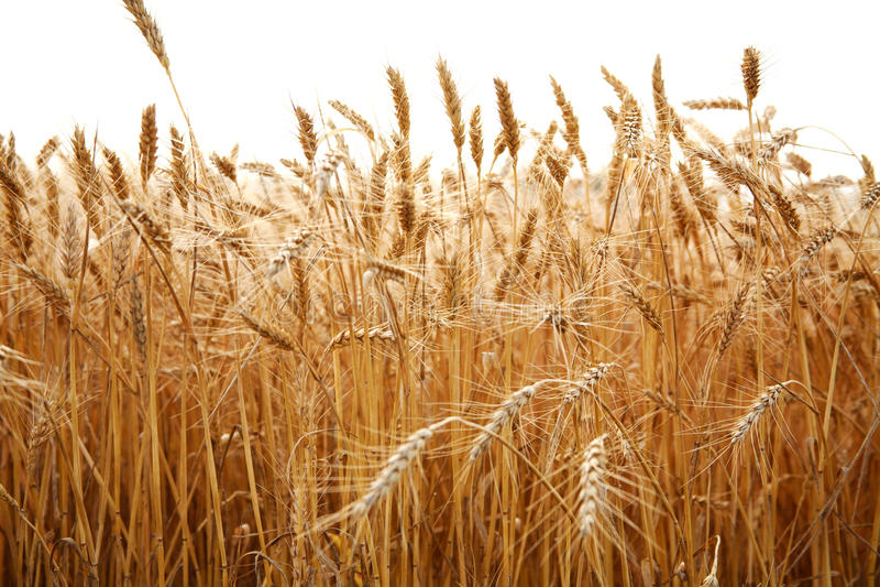 关闭麦子茎在白色的 库存图片