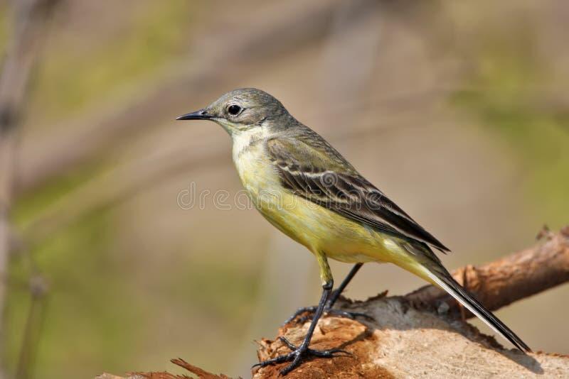 关闭黄色令科之鸟画象  库存照片