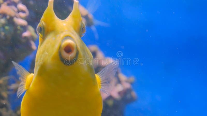 关闭黄色滑稽的鱼射击在珊瑚附近 库存照片