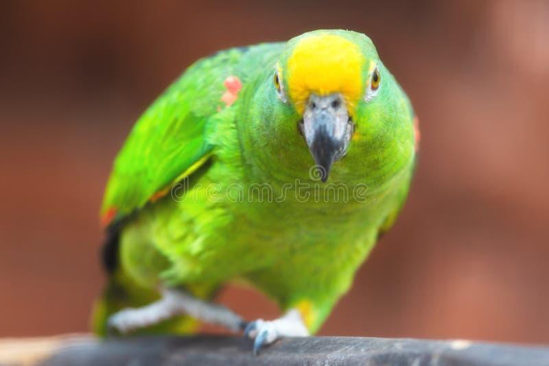 关闭黄色被加冠的亚马逊鹦鹉 免版税图库摄影