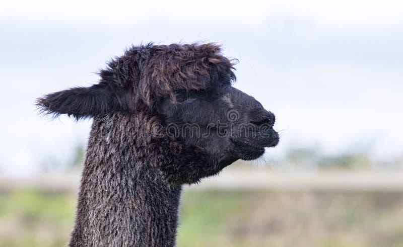 关闭黑毛皮羊魄头在国内农场 库存图片