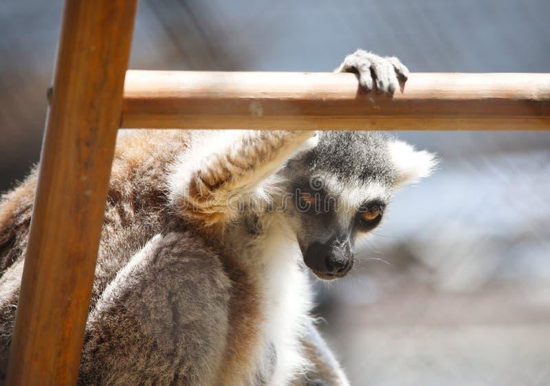 关闭黑白被翻动的狐猴坐观看的梯子, strepsirrhine夜的大主教画象  库存图片