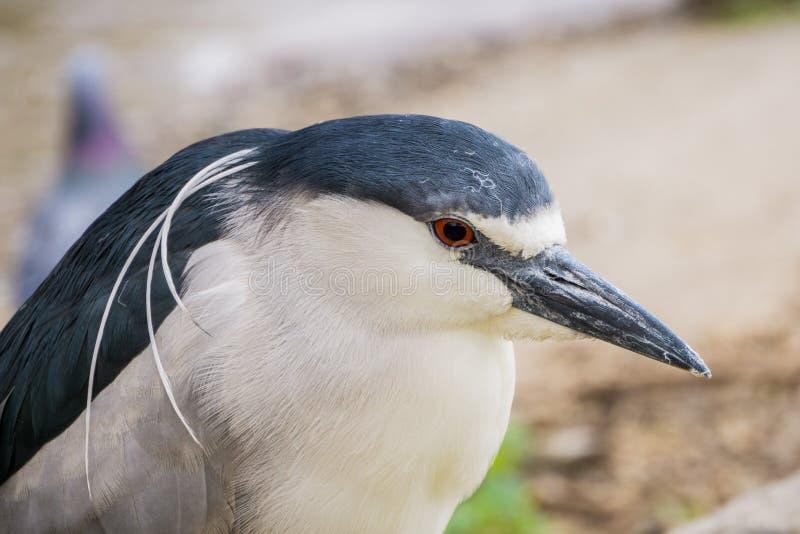 关闭黑被加冠的夜苍鹭- Nycticorax,湖梅里特,奥克兰,加利福尼亚 免版税库存照片