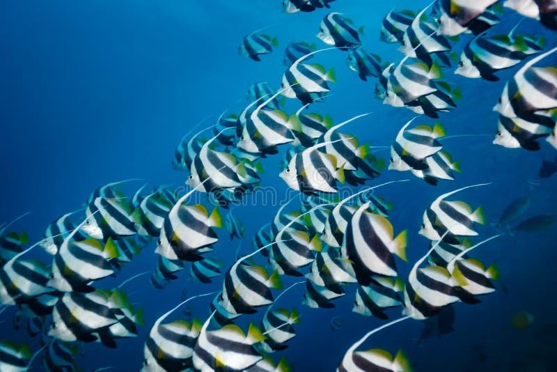 关闭黑镶边横幅鱼游泳学校在蓝色海洋 库存照片